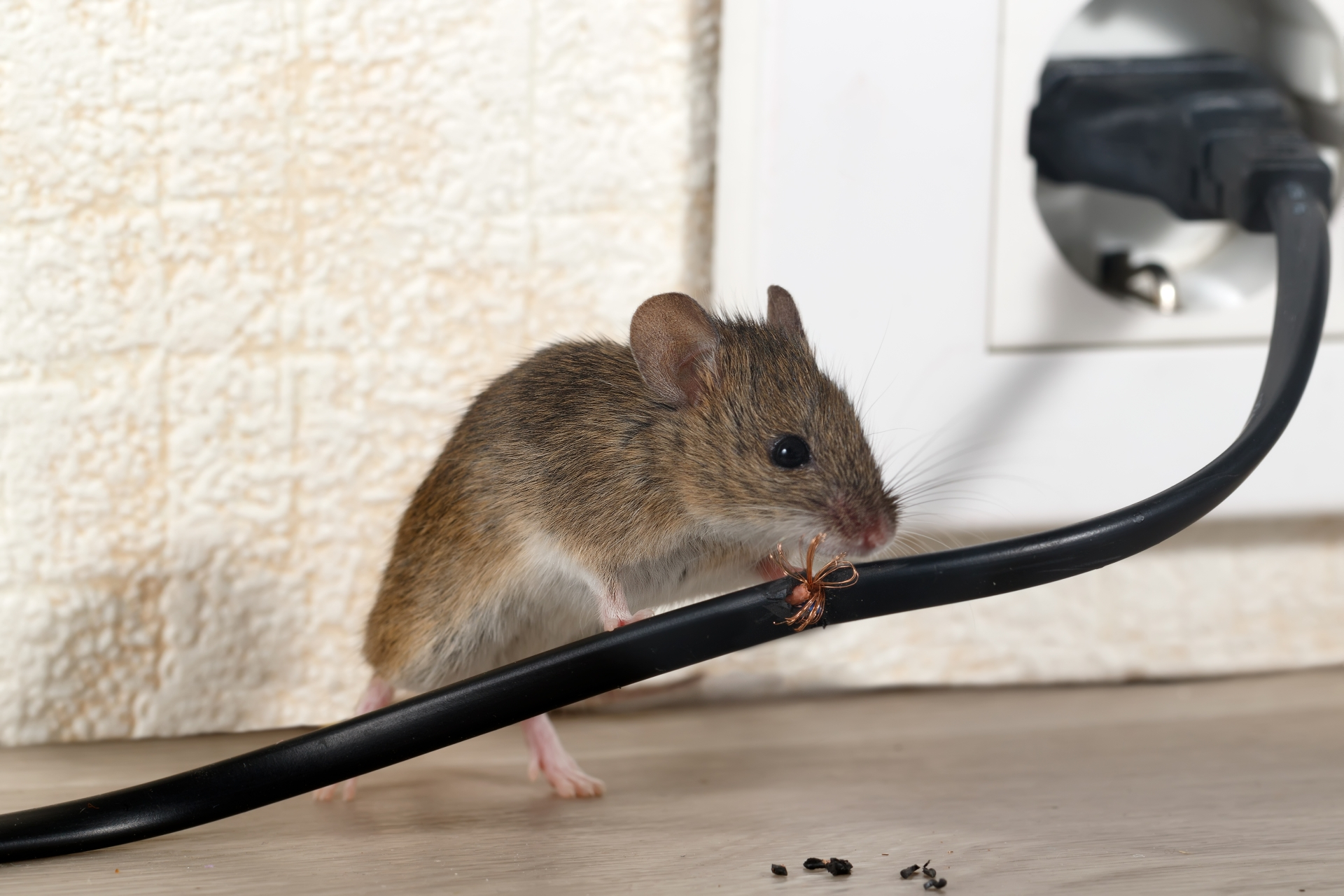 Mice Infestation, Pest Control in Shepherd's Bush, W12. Call Now 020 8166 9746
