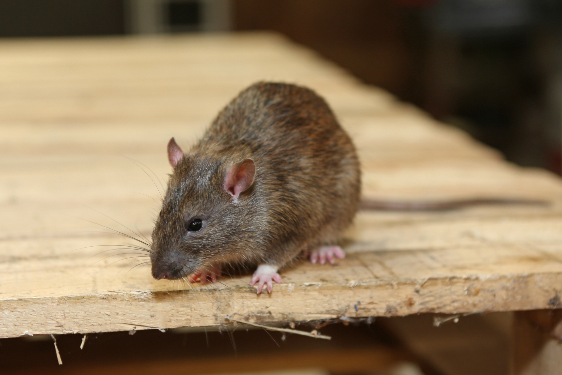 Rat Infestation, Pest Control in Shepherd's Bush, W12. Call Now 020 8166 9746